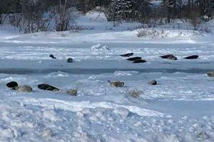 カナダの街に突然多くのアザラシが出現、湾が凍り海へ戻れなくなる