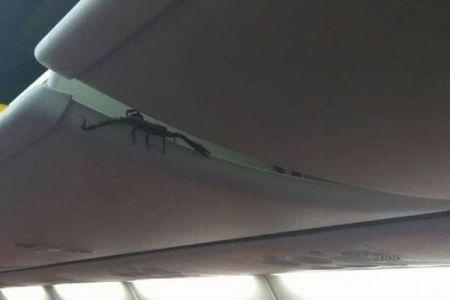 インドネシア最大の種か?乗客が機内の荷物入れに大きなサソリを発見