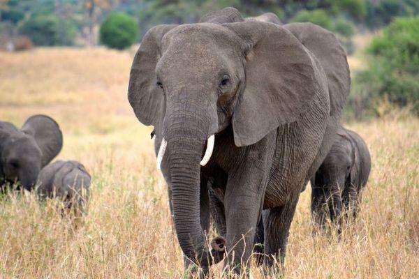 野生のゾウがペットフードに?アフリカのボツワナで狩猟解禁を検討