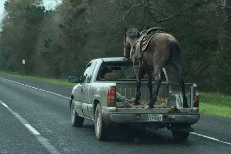 ピックアップトラックの荷台に馬!目を疑う光景に他のドライバーもびっくり