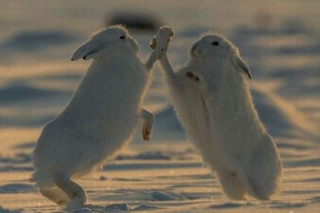 せーのでハイタッチ!北極で生きるウサギを捉えた写真が愛らしい