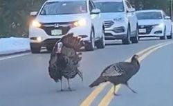 仲間の全員が道路を渡りきるまで見守る野生の七面鳥、まるで人間みたい