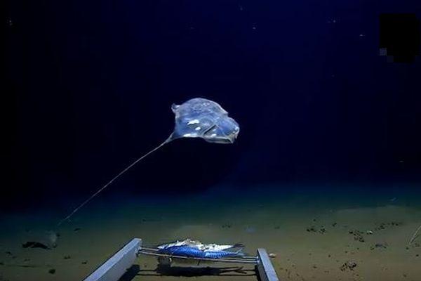 インド洋の深海、7000mの海底で新種と見られる奇妙な生物の撮影に成功
