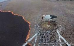 野火の炎が迫る中、コウノトリの父親が巣を離れず最後まで卵を守り抜く
