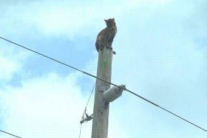 高い電柱の頂上で動けなくなったボブキャット、絶体絶命からの展開にヒヤヒヤ【動画】