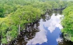 """米国の沼地で樹齢2624年の""""生きた""""木を発見!人間の活動により枯れる恐れも…"""