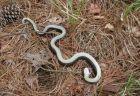 米に生息する「ゾンビ・スネーク」、珍しい性質を持つヘビに注意喚起