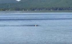 ワシが水の中をスーイスイ!湖で平泳ぎのように泳ぐ姿が撮影される