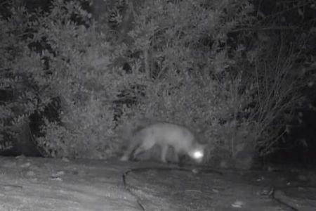 アナグマとキツネが追いかけっこ、藪の中をぐるぐる回り続ける姿がコミカル