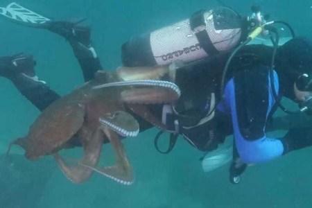 人間をエサと勘違い?ダイバーが海中でタコにアタックされる