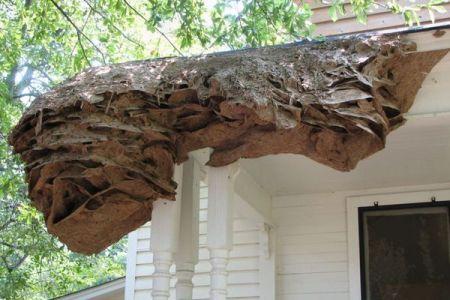 米で超巨大なスズメバチの巣を発見、今年も多く発見される可能性あり
