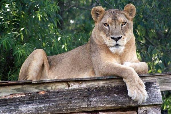 米の保護施設にいたライオン、激しい暑さの影響で死亡