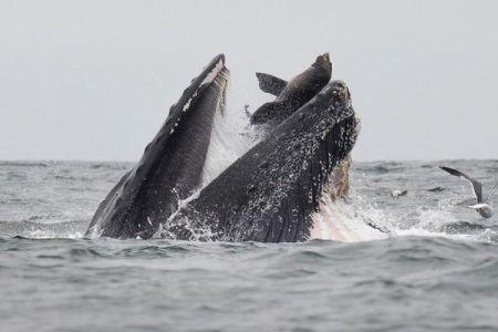 アザラシがクジラに食べられた?飲み込まれそうな珍しい瞬間が撮影される