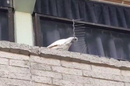 「こんなものは邪魔!」豪でオウムが鳥よけスパイクを次々と外してしまう【動画】