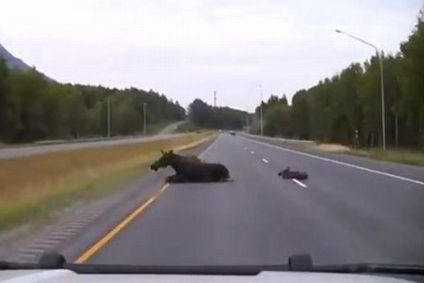 アラスカの道路にヘラジカの親子が出現、警官が素早く反応し間一髪で衝突を回避