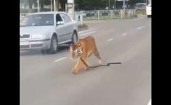 ロシアの道路に突然トラが出現!車からジャンプして降りてきちゃった