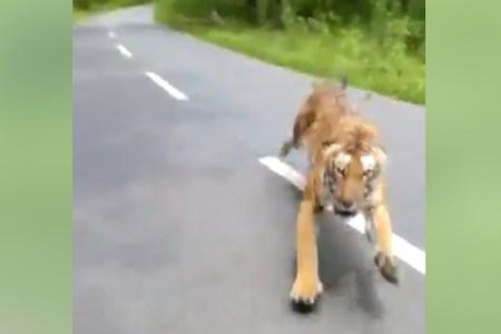 これがインド!バイクで走っていたらベンガルトラに追いかけられた
