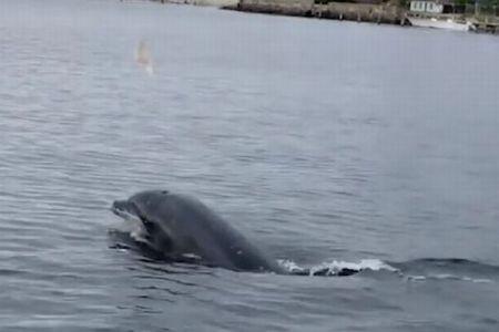遊び好きなイルカ、海の中のクラゲを次々と空中へ投げる様子がユニーク