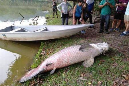 アマゾンに生息している巨大魚が、なぜかマレーシアの湖で発見される