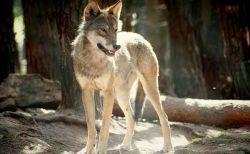 カナダでオオカミがキャンプ中の4人家族を襲撃、付近にいた男性が助けに向かう