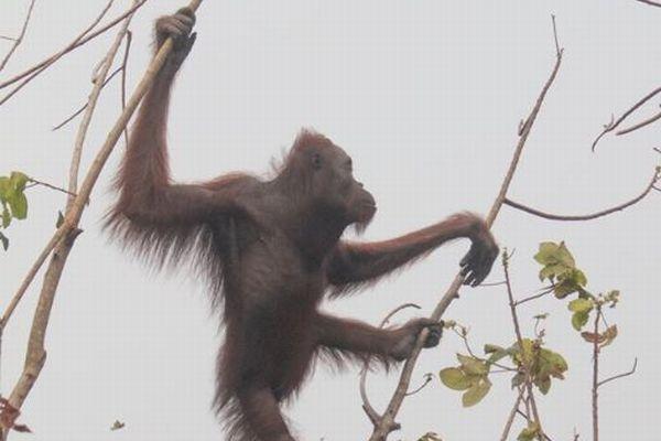 インドネシアの森林火災で保護されたオランウータン、顔に銃弾が突き刺さっていた