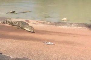 魚を釣り上げたと思ったらワニが出現、獲物に接近し横取りしてしまう