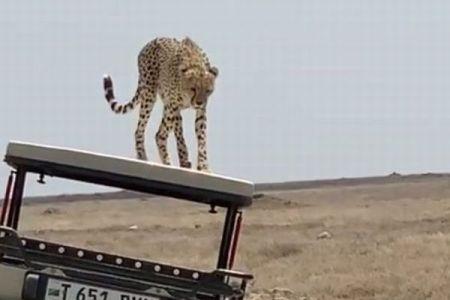 タンザニアで観光客の乗ったジープの上に、野生のチーターが乗ってきた!【動画】