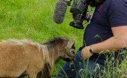 BBCの番組でハプニング、羊が股間に頭突きをし、カメラマンが悶絶