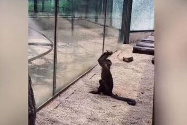 中国の動物園でサルが石で囲いのガラスを破壊、粉々にひびを入れる