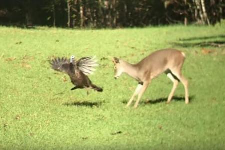 「ここから出て行け!」七面鳥がシカを追い出すそうと威嚇【動画】