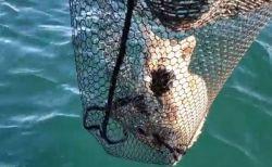 湖のど真ん中にオオヤマネコ!釣り人が発見し、ネットですくい上げて救助