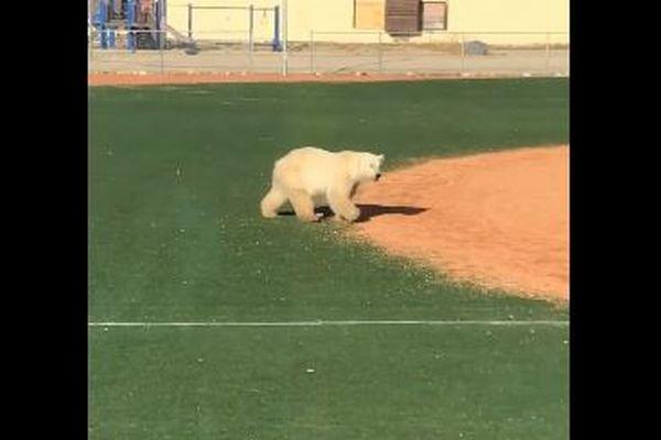 カナダの街にホッキョクグマが出現、野球のグランドを保護官と追い駆けっこ