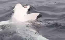 サメが背泳ぎ?白い腹を見せて海面に浮上する珍しい映像を撮影