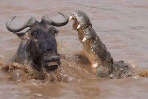 川を渡っていたウシカモシカ、間一髪でナイルワニの攻撃から逃れる【動画】