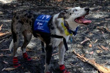 コアラの匂いを嗅ぎわけられる救助犬、豪の山林火災で奮闘中