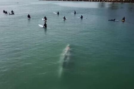 サーファーらに巨大なクジラが接近、密かに近づいていく映像を撮影