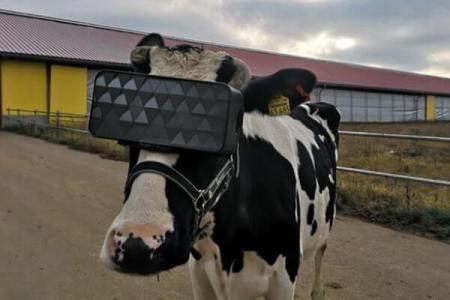 牛にVRゴーグルを装着、生産性アップを狙うロシアの真面目な取り組み