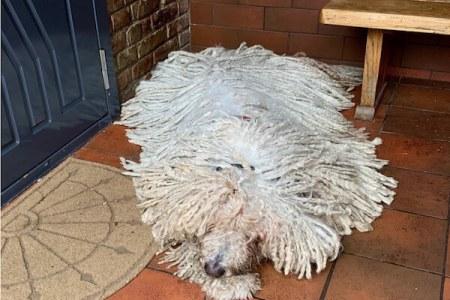 モップが動いた、と思ったら犬だった!リトアニアのコモンドール犬がインスタで人気