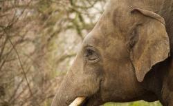 「ビン・ラディン」と名付けられたゾウ、インドで村人を襲撃し御用