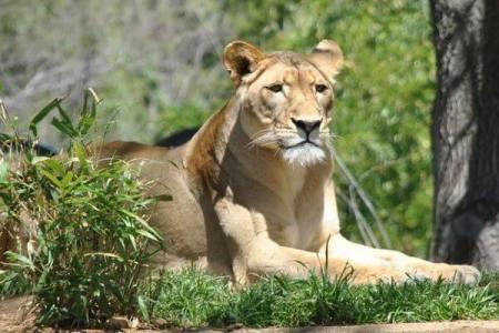 ナイジェリアの民家で警備用に飼われていたライオン、住民の要請で動物園へ移送