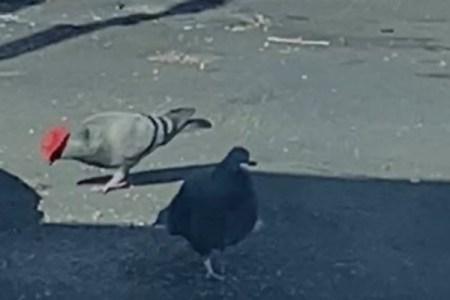 誰かがイタズラ?ラスベガス付近でカーボーイハットをかぶったハトを目撃