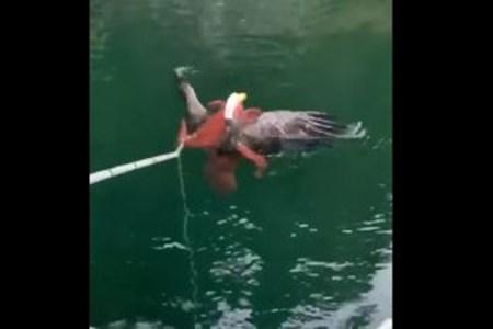 タコに捕まったハクトウワシ、溺れそうになるのを人間が救助する