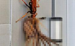 オーストラリアのワイルドな日常!帰宅したら大ハチが大蜘蛛を引きずっていた