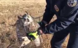 有刺鉄線に引っかかったミミズクが発見され、無事保護される