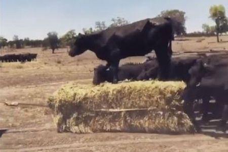 オーストラリアの牧場で、干し草の上に乗って移動する牛がユニーク