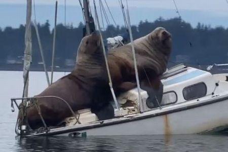 巨大な2頭のトドが船の上で休憩、重さで船体が傾きあわや沈没?