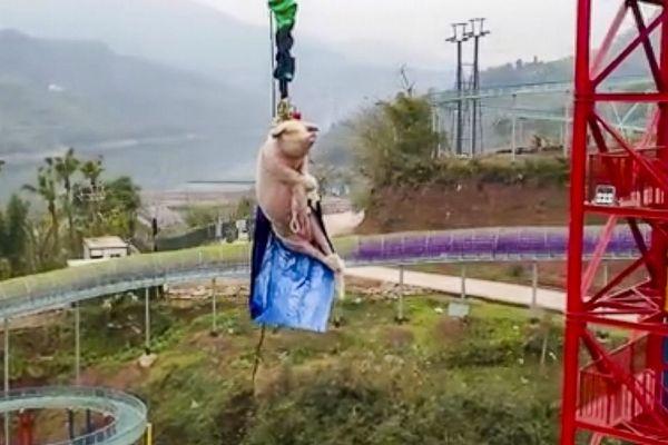中国のテーマパーク、ブタをバンジージャンプさせる動画を投稿し、炎上