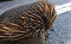【オーストラリア火災】ハリモグラの針が溶けた写真がショッキング