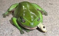 猛毒のヘビを喰らうカエル、何度も咬まれるも死なずに丸飲み