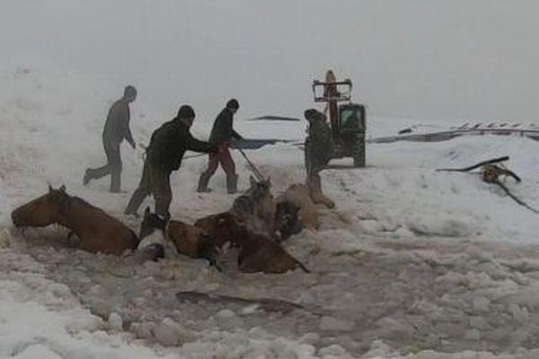 ロシアで馬が氷の池に落下、農家による大救出作戦で11頭を救う